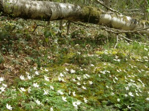 Love Notes From Nature – Wood Anemone