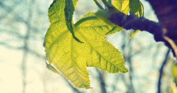 leaf_lynn-amanda